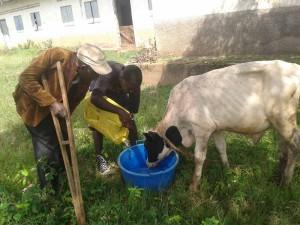 Koeien water geven